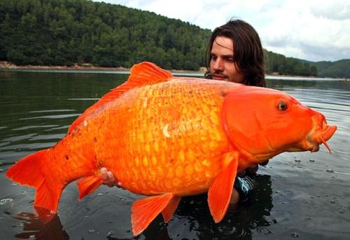 Pesca una carpa dorada de m s de 13 kilos sucesos for Carpas ornamentales