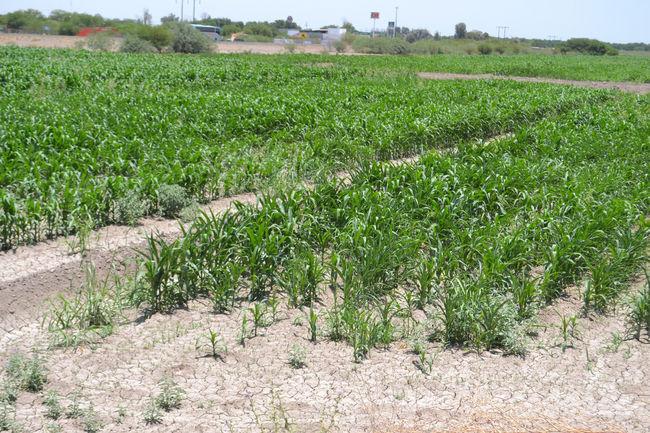 Se salvan cultivos de las heladas for Zacate de invierno