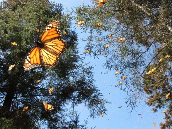 Mariposa monarca afectada por tala clandestina