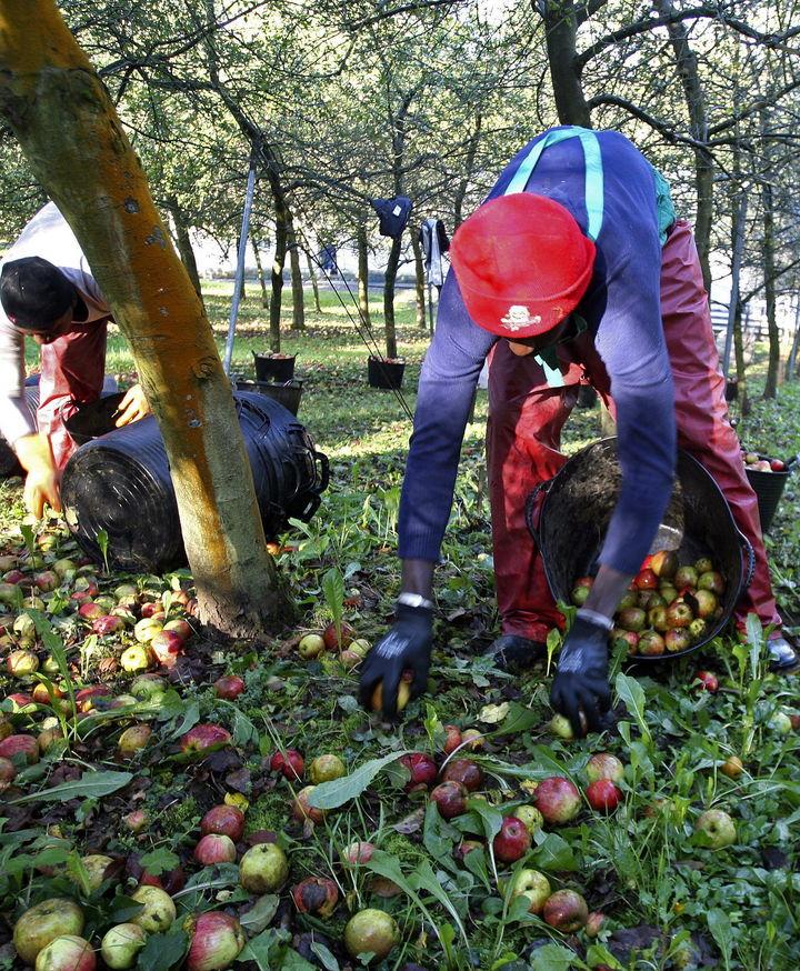 Pierden 80 mil toneladas de manzana