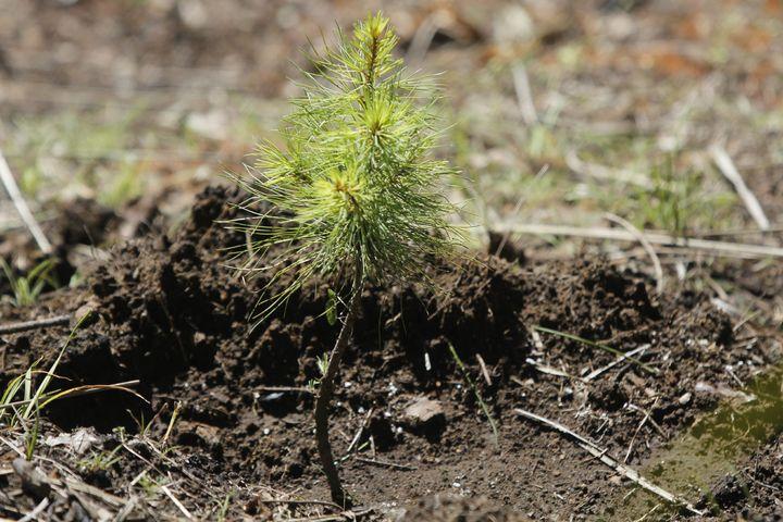 Atacan 65 plagas a plantaciones forestales