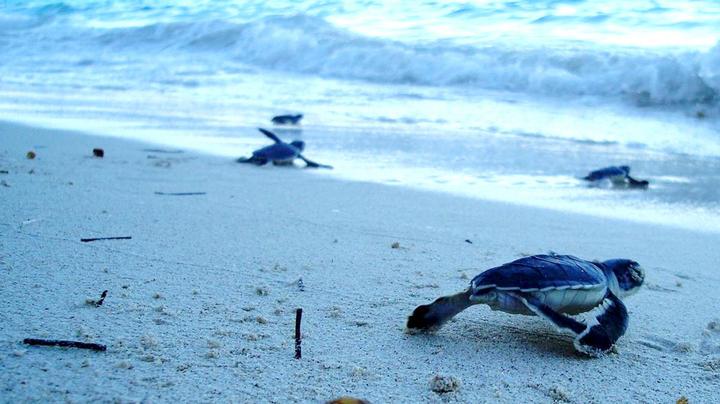 Mantiene Q. Roo compromiso de proteger a tortugas