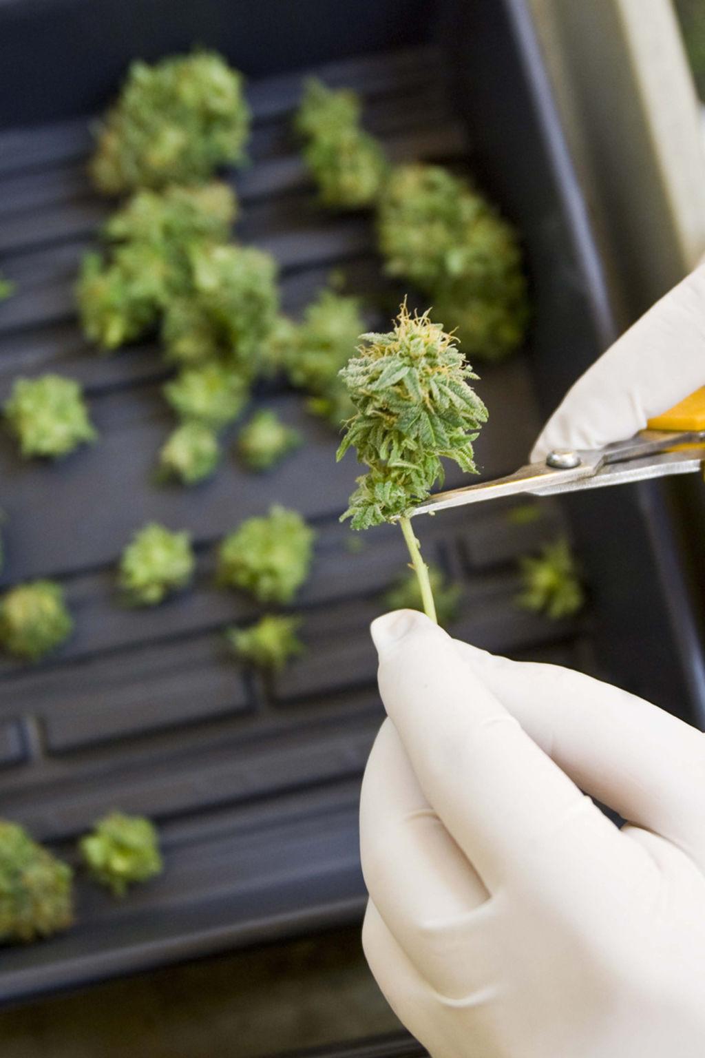A favor del uso terapéutico de la marihuana