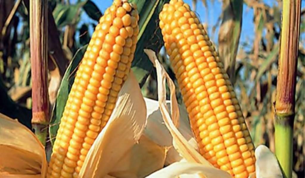 Frenan permisos al maíz transgénico
