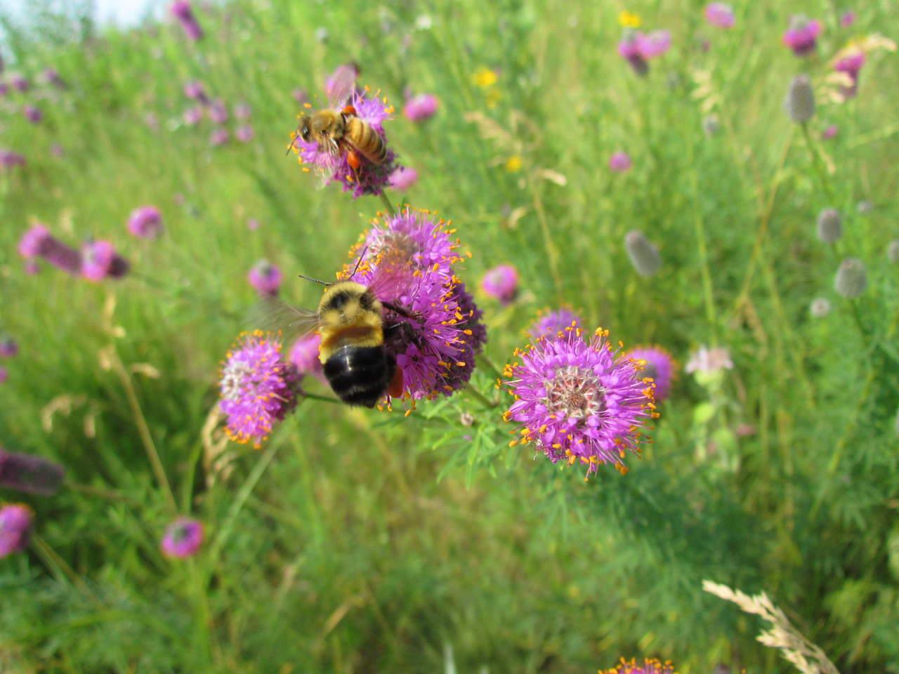 Estados Unidos declara al abejorro en peligro de extinción
