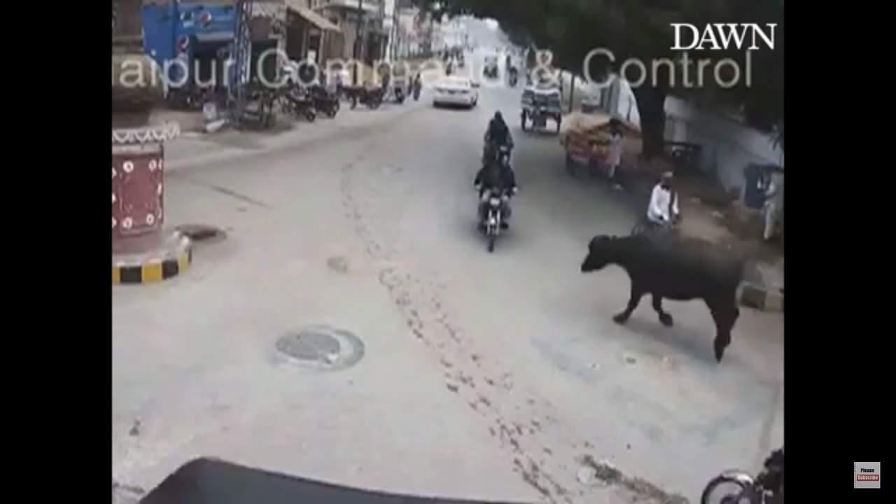 Búfalo impacta contra motociclista