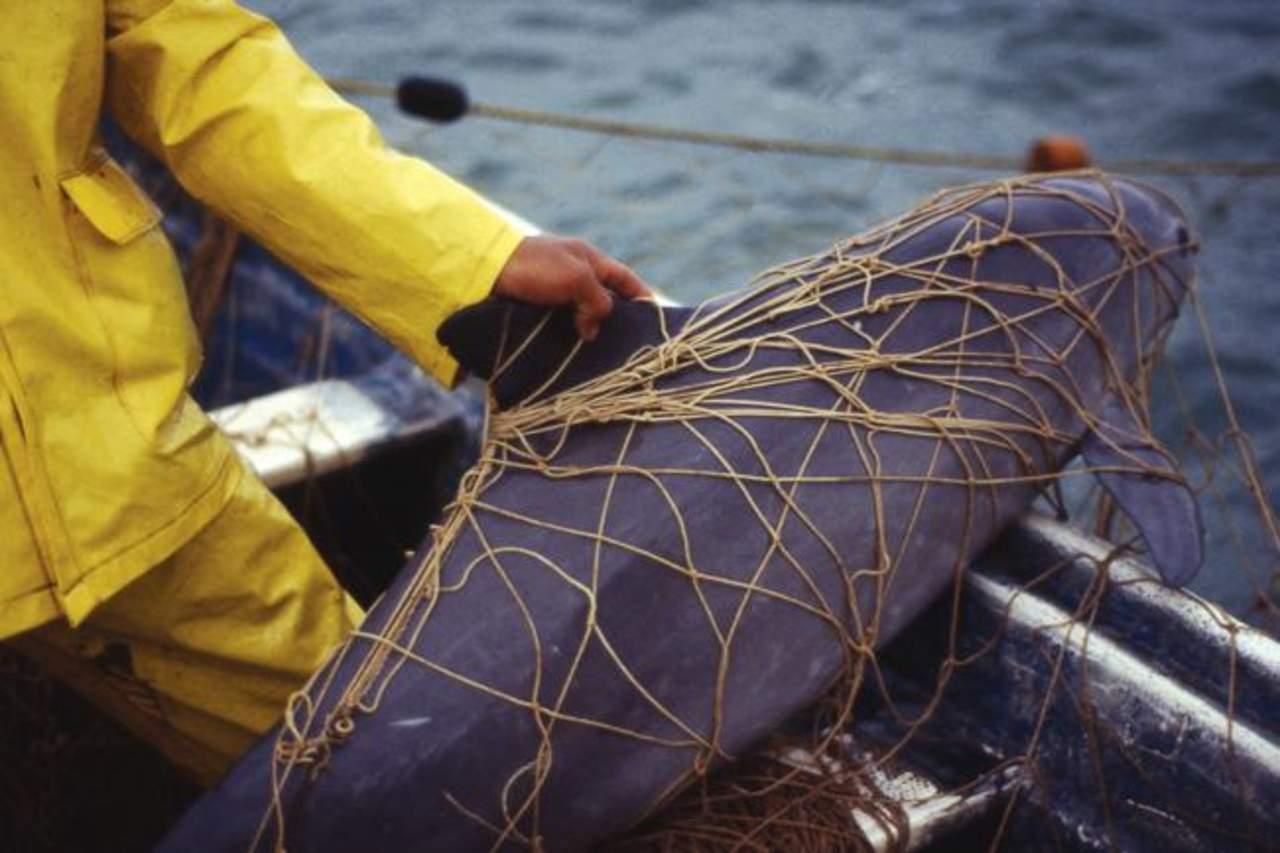 Encuentran otra vaquita marina muerta
