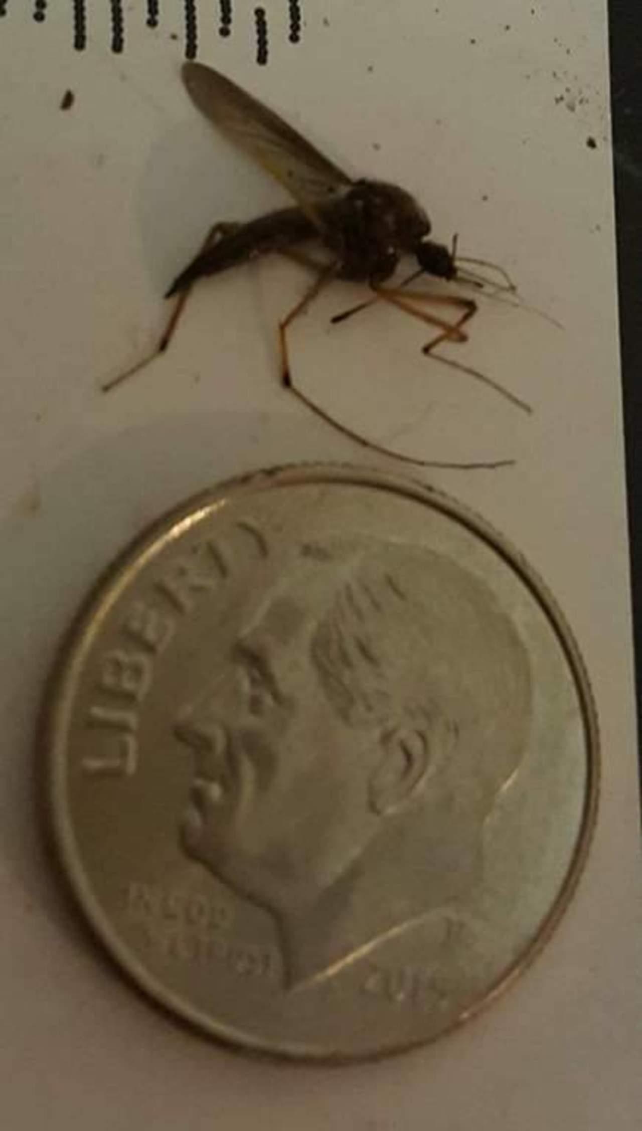 Aparecen mosquitos gigantes en Acuña