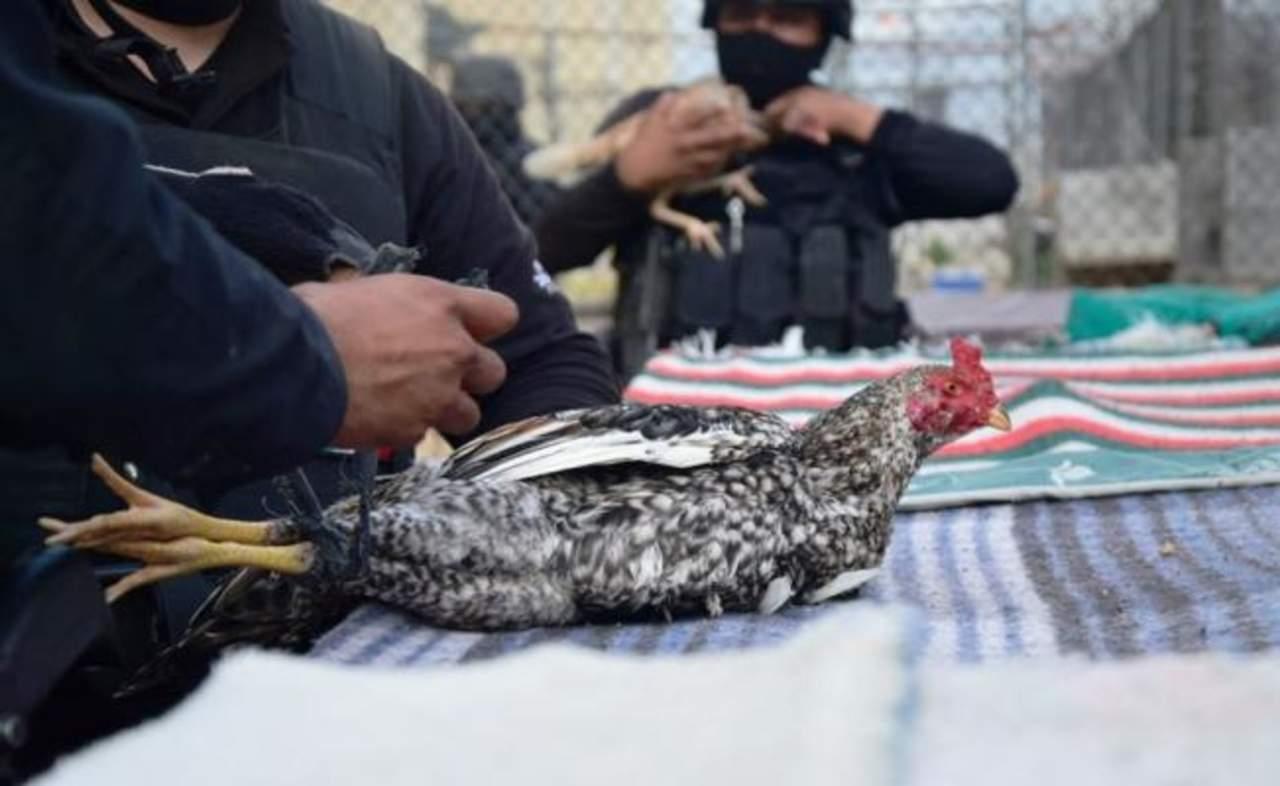 Encuentran gallos de pelea y una gallina durante cateo en penal de Nuevo Laredo