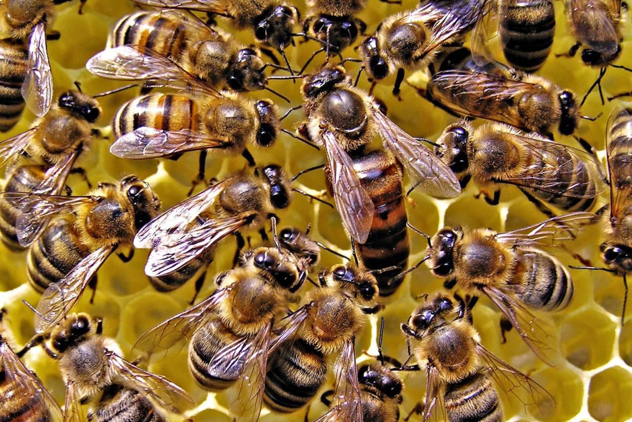 Invierten en abejas reinas