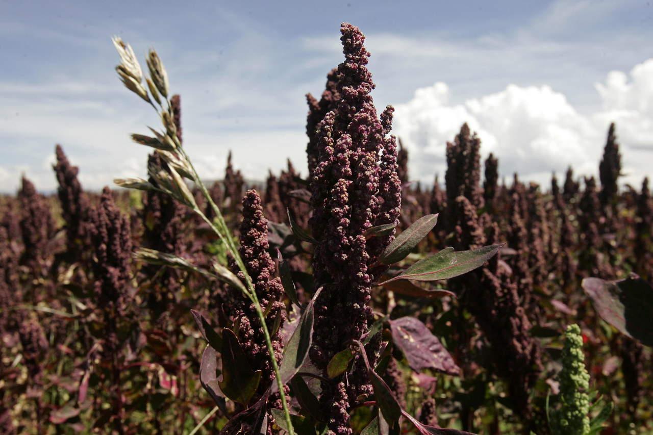 Quínoa, una semilla con alto contenido nutricional