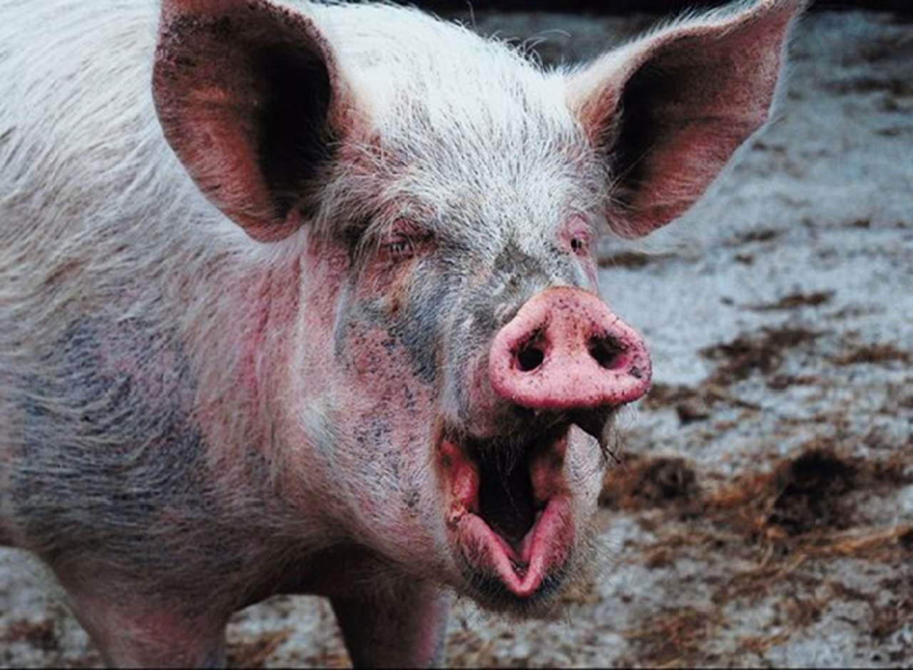 Un cerdo muerde y mata a su dueño