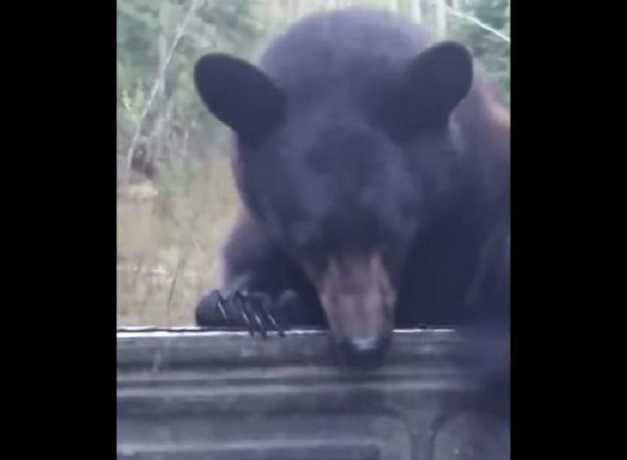 Este hombre persigue al oso que le robó su mochila