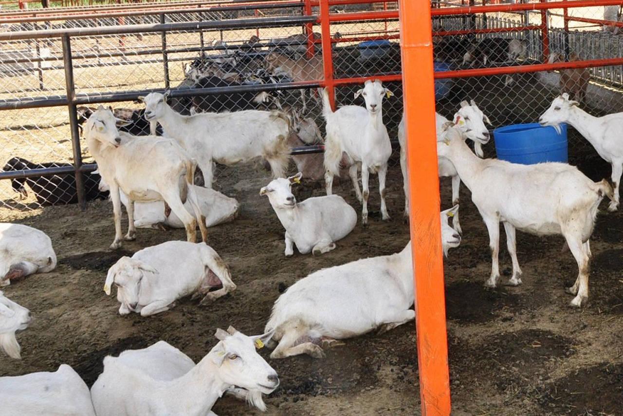 Impulsan al sector caprino lagunero
