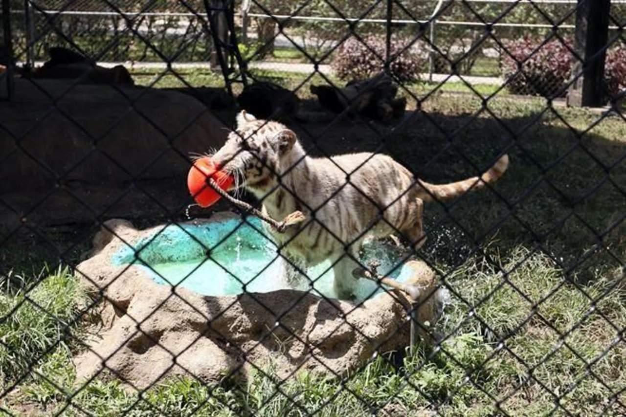 Bautizan a tigre del zoológico La Pastora como