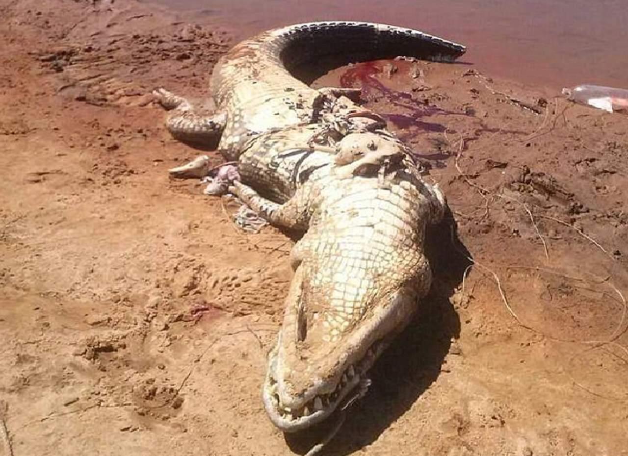 Extraen restos de una persona del interior de un caimán — FOTOS