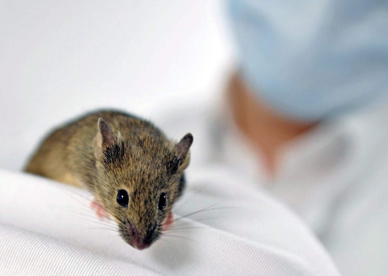 Anticuerpos del dengue pueden tratar el zika en ratones