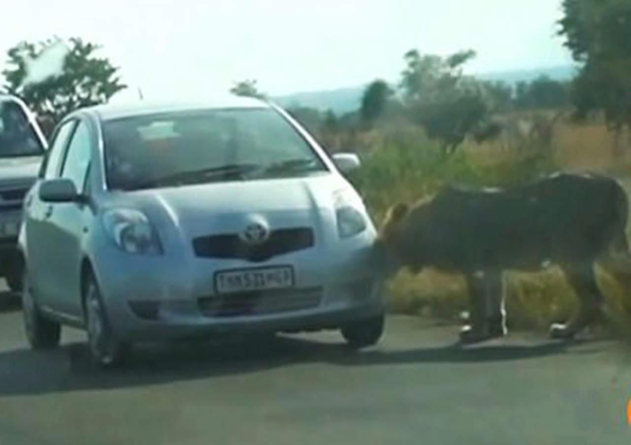 León es captado destrozando vehículo dentro de un zoológico
