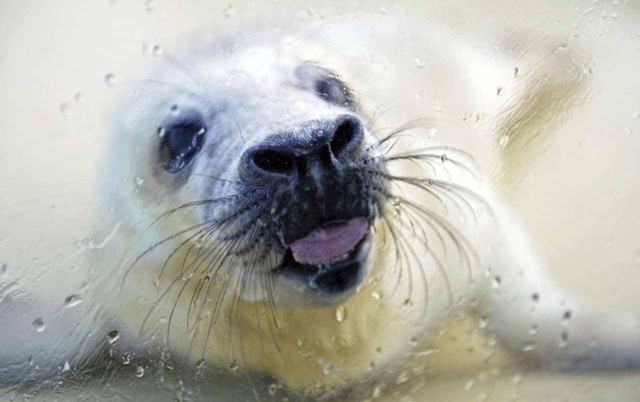 Hallan diferencias de comportamiento en cachorros de foca gris