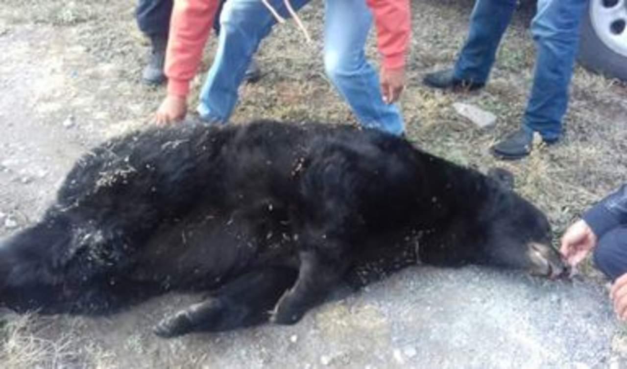 Hallan oso negro sin vida y con un impacto de bala en Saltillo