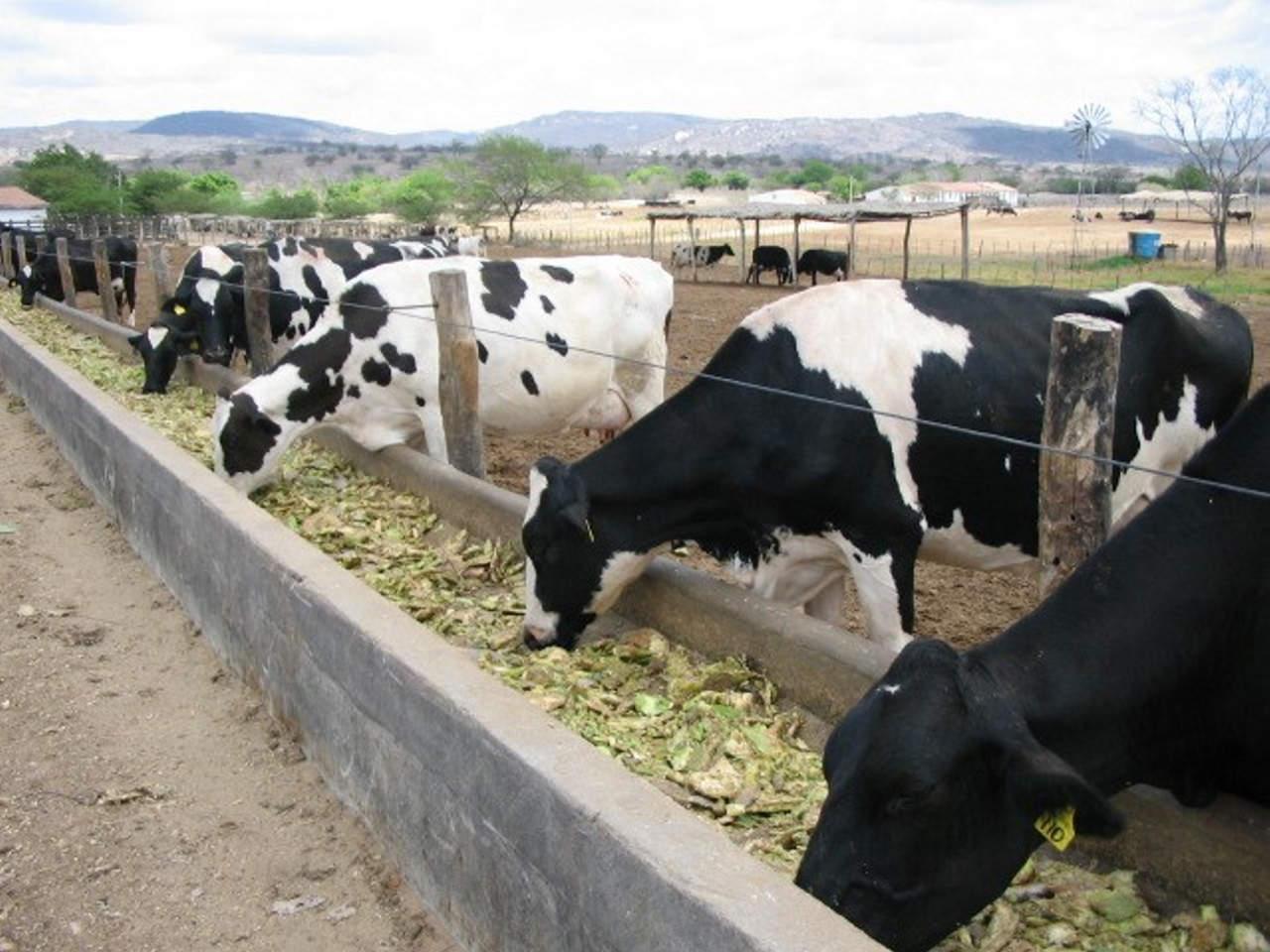 Nopal, alternativa para alimentar al ganado