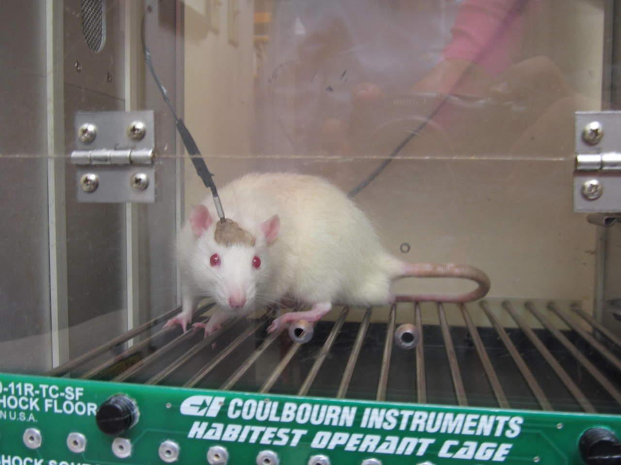 Revierten en ratones la formación de placas amiloide que causan el alzheimer