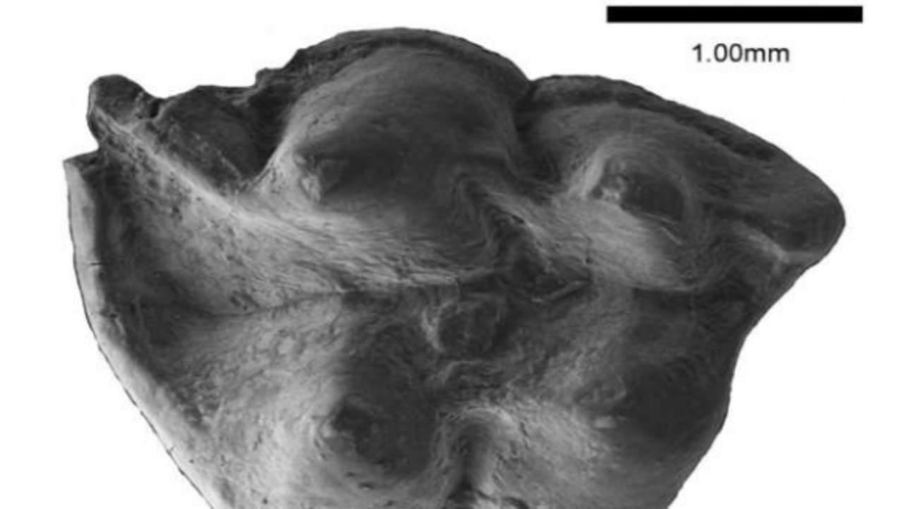 Descubren nueva especie de insectívoro fósil de hace 16 millones de años