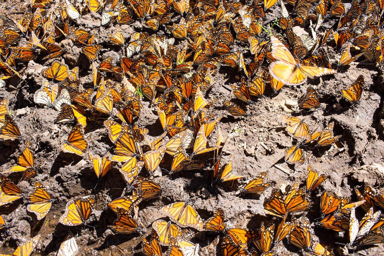 Menos mariposas monarca en México; culpan al cambio climático