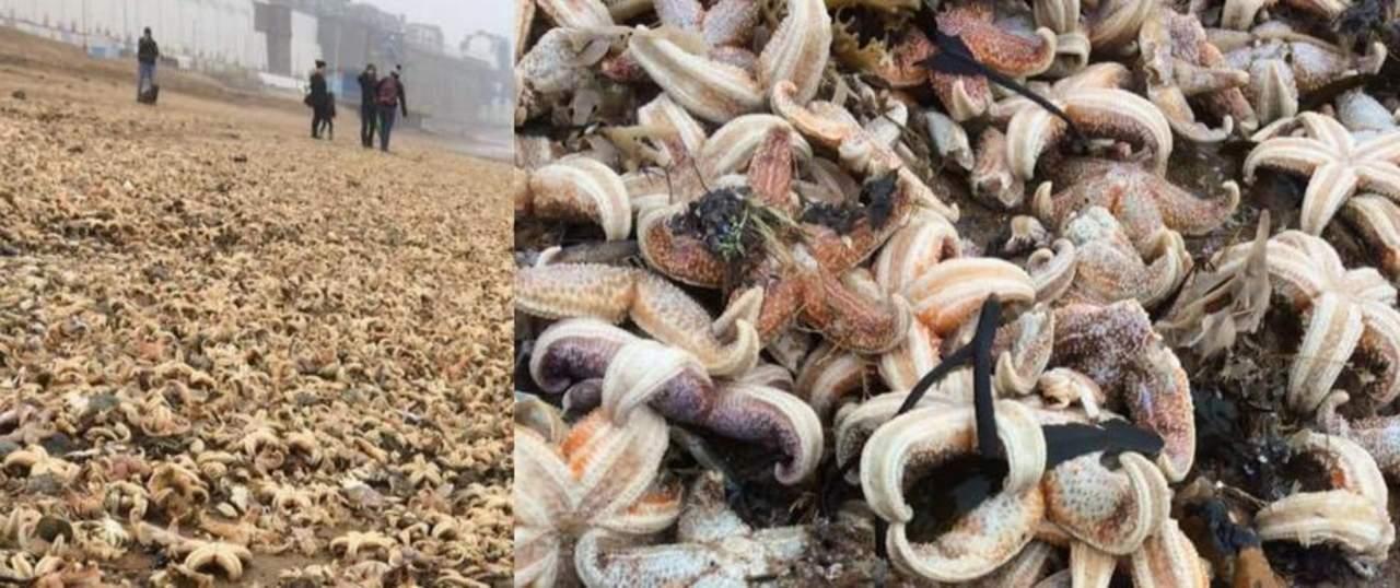 Miles de estrellas de mar muertas en Inglaterra