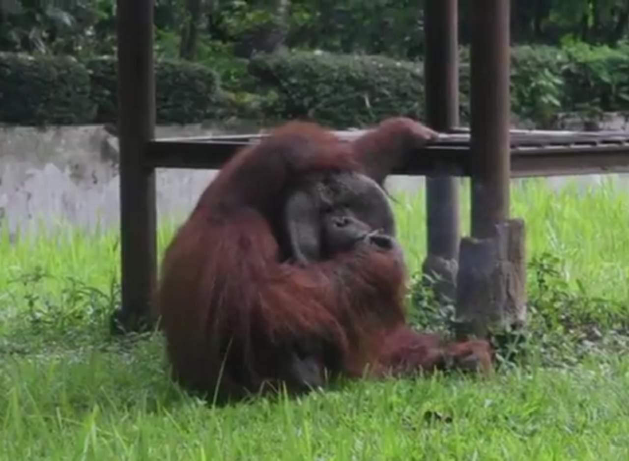Orangután fumador visto en un zoológico causa polémica