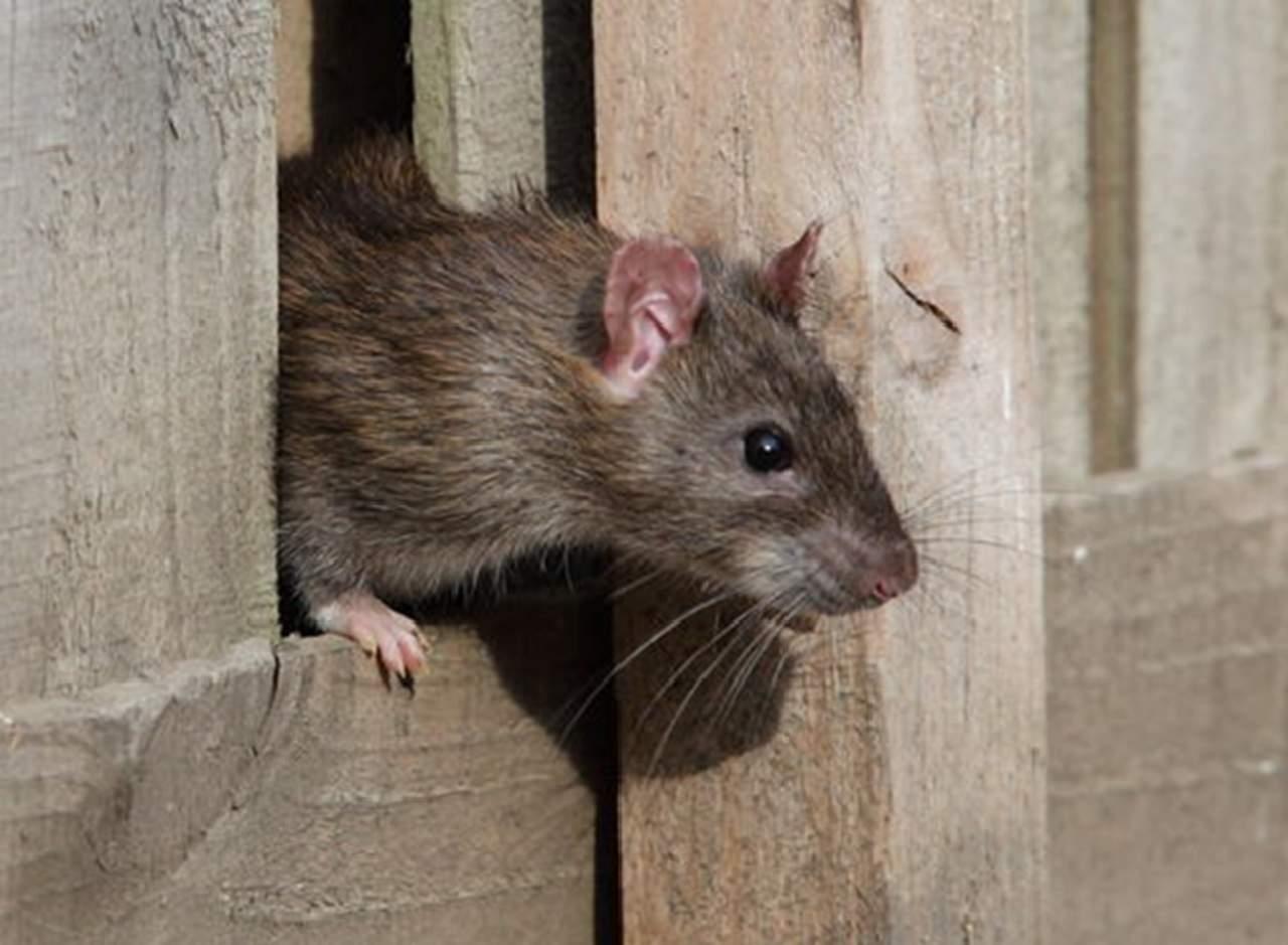 Policías culpan a las ratas por varios kilos de droga desaparecida