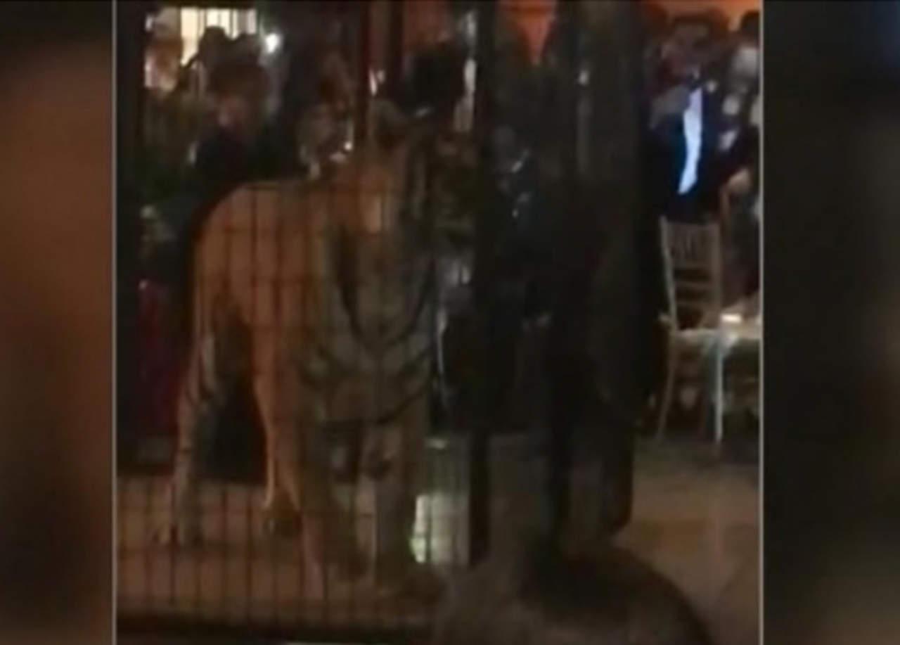 VIDEO: Tigre enjaulado en graduación causa controversia