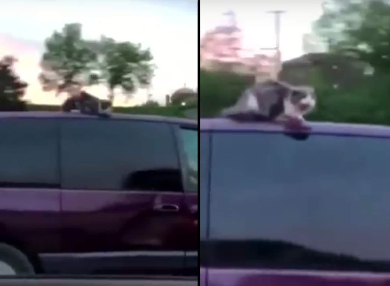 Un gato viaja arriba del techo de un automóvil