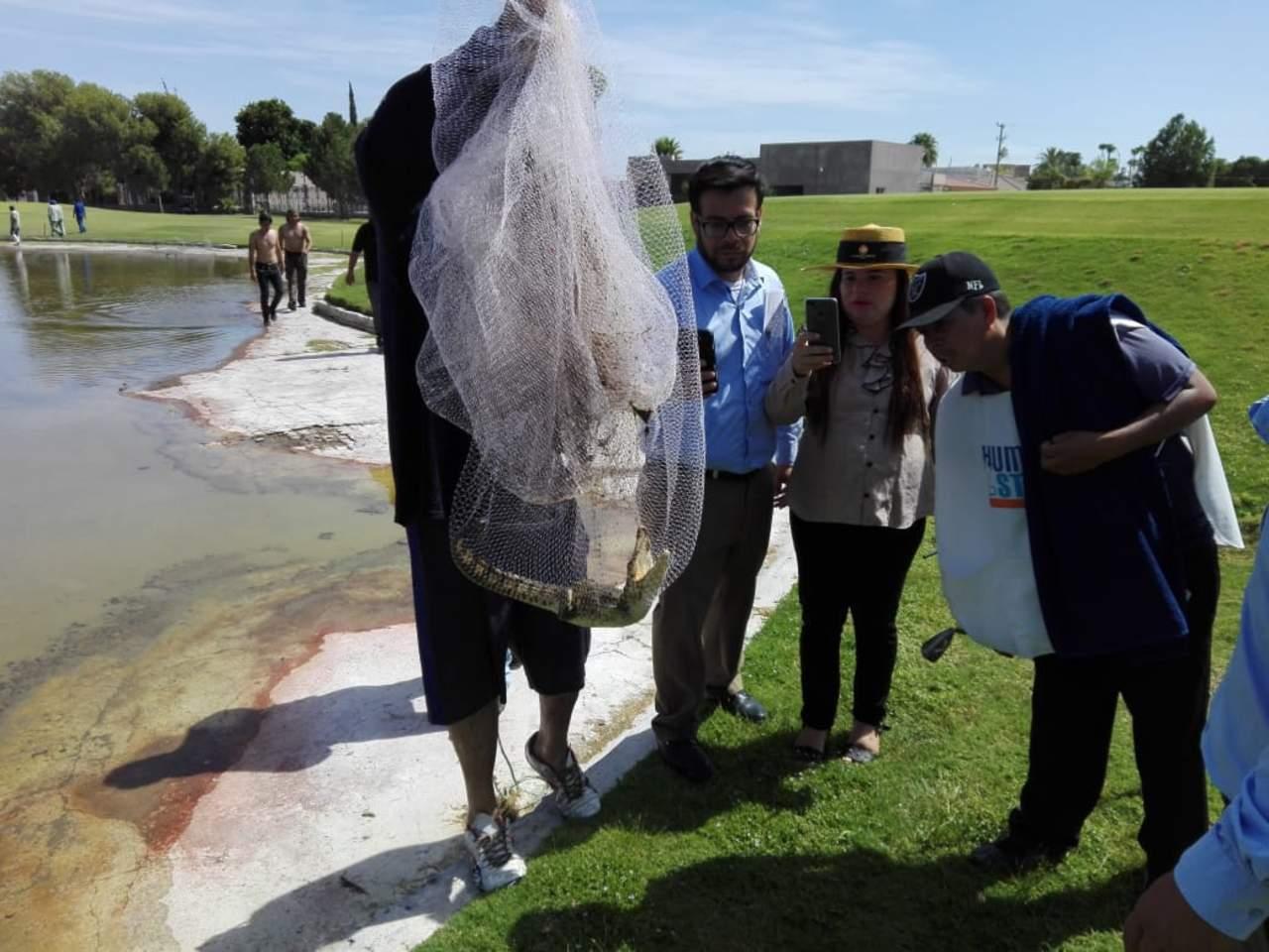 Profepa captura caimán en lago de club privado de Torreón