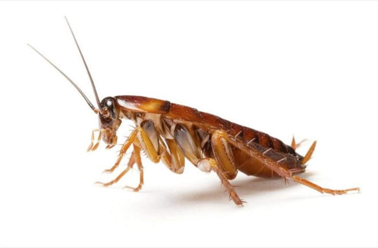 Proliferación de cucarachas, un grave riesgo para la salud