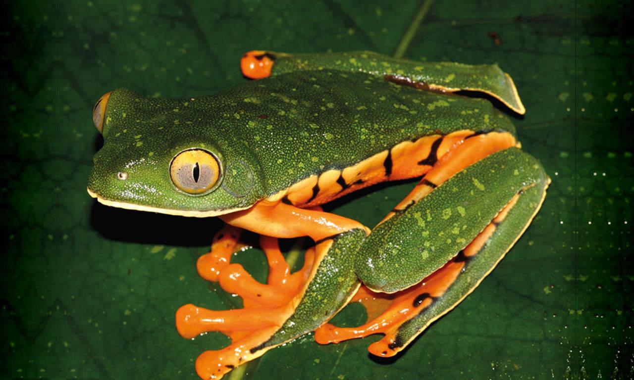 Identifican nueva especie de rana