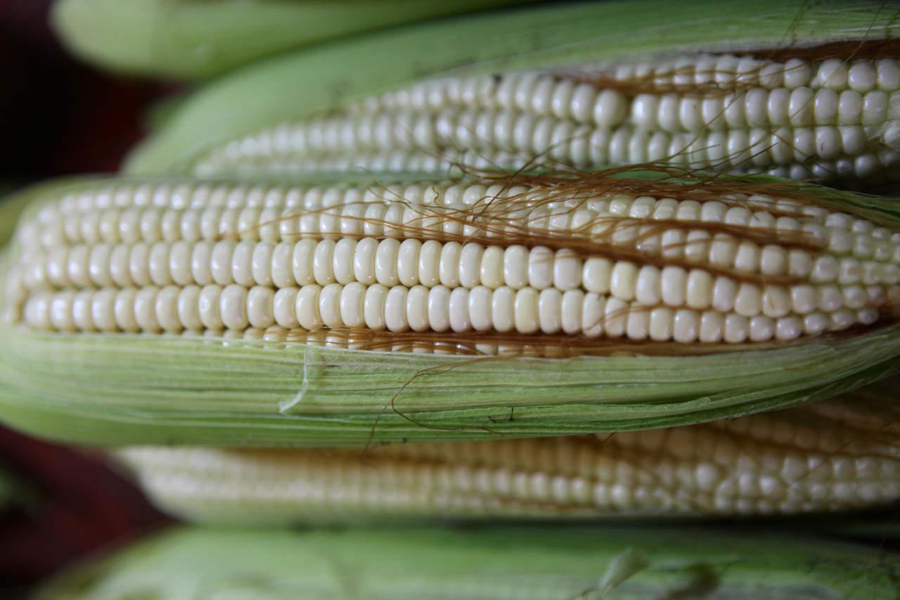 Tipo de maíz mexicano reduciría uso de fertilizantes