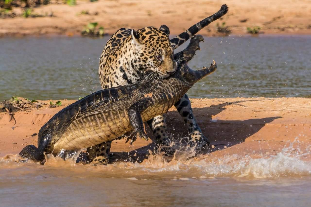 VIRAL: La impresionante batalla entre un jaguar y un caimán