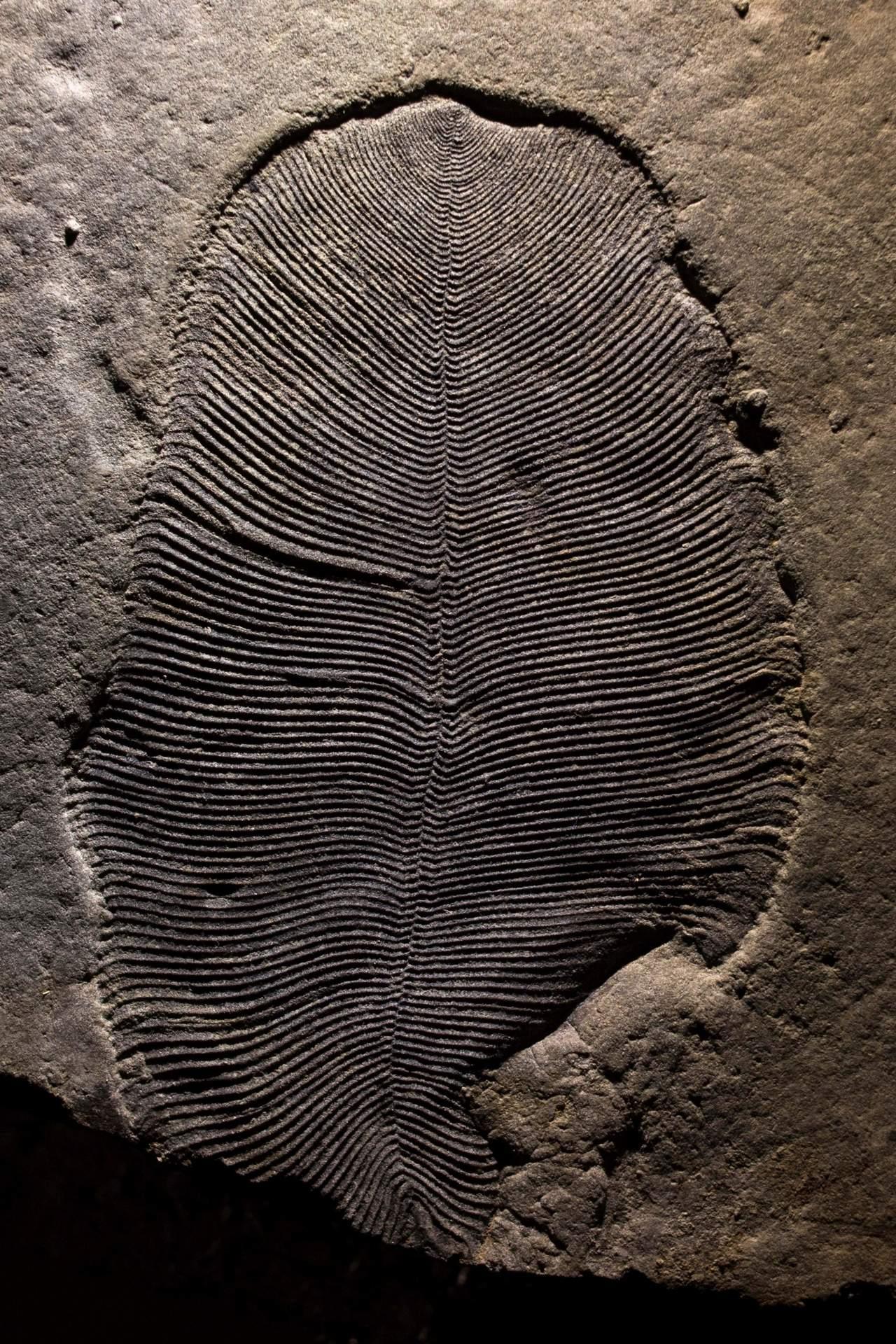 Dickinsonia, el animal más antiguo de la Tierra