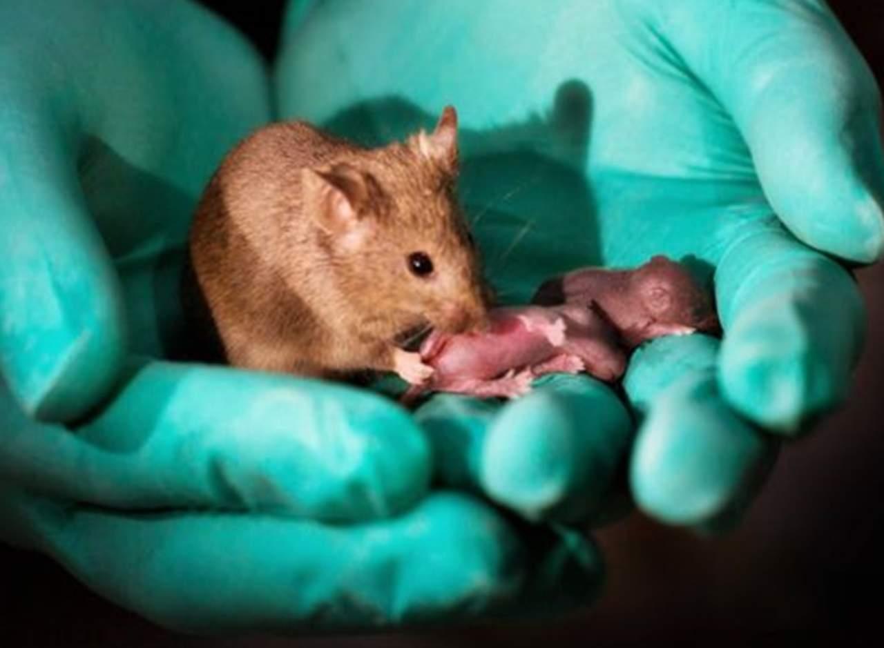 Logran que ratones del mismo sexo tengan crías