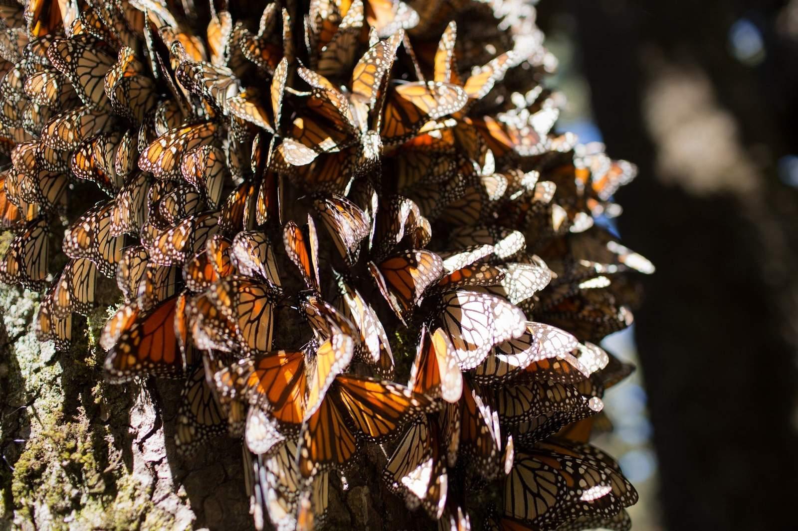 Llegan primeras mariposas monarca a santuarios mexicanos