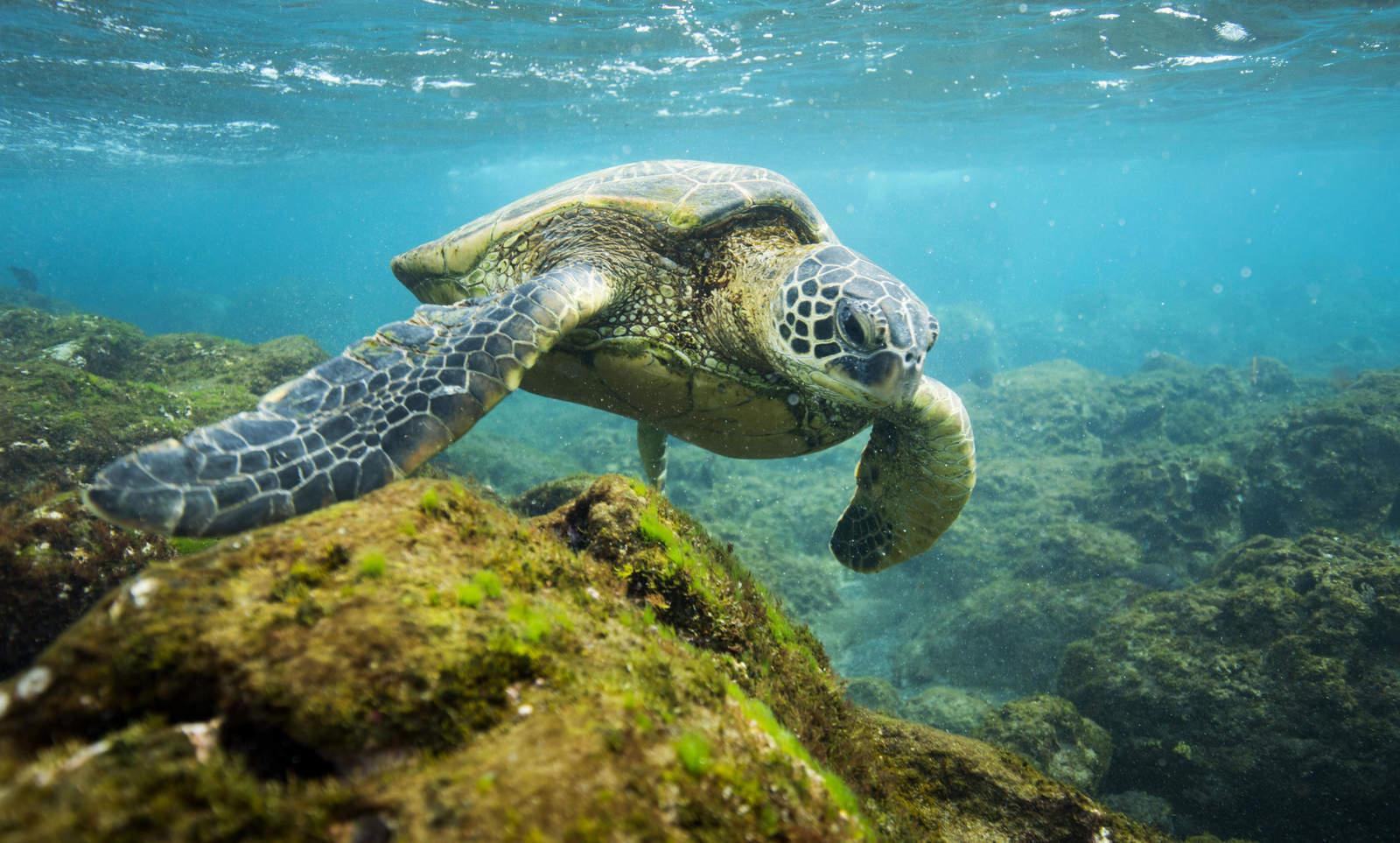 Con microplásticos, todas las especies de tortugas marinas
