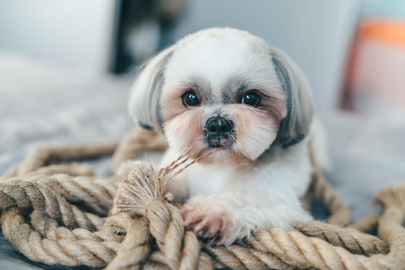 Los perros suelen morder y masticar objetos cuando estan aburridos, lo que puede ocurrir a cualquier edad y sobre todo cuando están solos en casa.  (ESPECIAL)