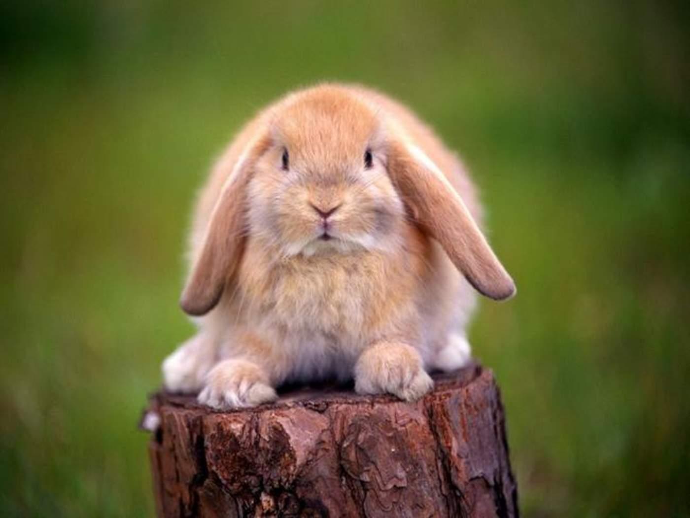 Una de las razones por las que un conejo no debería consumir plátano son los elevados niveles de almidón que contiene este fruto. (ESPECIAL)