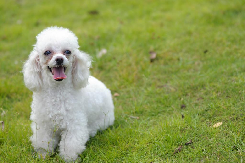 Los Poodle son perros guardianes, y pueden morder si son tomados por sorpresa e incluso si sienten que se están burlando de él. (ARCHIVO)