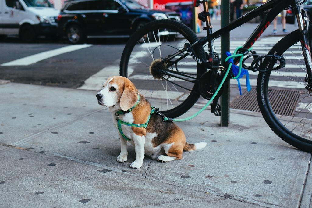 La pechera no provocará daños en la espalda ni en el cuello, además de no correr el riesgo de pasar por los daños antes mencionados. Sin embargo, es más probable que un perro tire de éste que de un collar. (ARCHIVO)