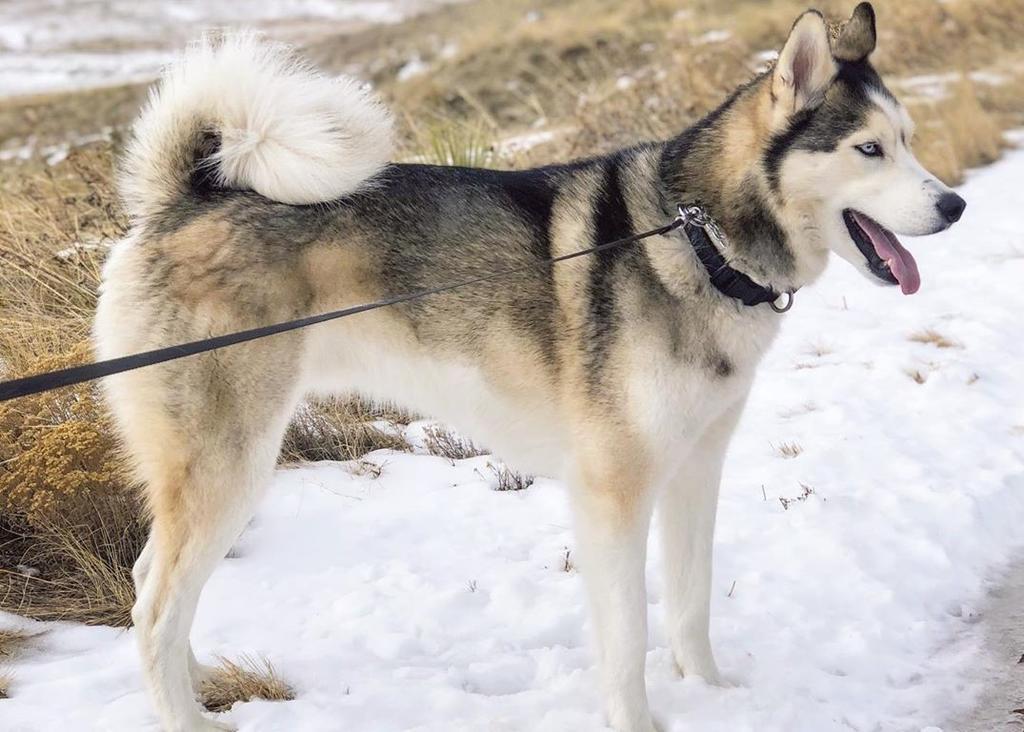 Aunque los perros Alaskan malamute y husky siberiano a primera instancia parecen ser muy parecidos, lo cierto es que cuentan con una serie de diferencias que incluso puede llegar a cambiar en su totalidad la forma en la que viven. (ARCHIVO)