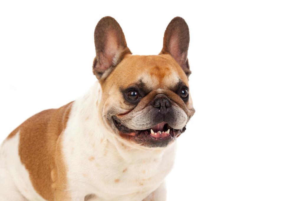 Se trata de perros que resultan adorables a la vista, es importante destacar los aspectos más importantes para su bienestar basado en su condición fisiológica.  (ARCHIVO)