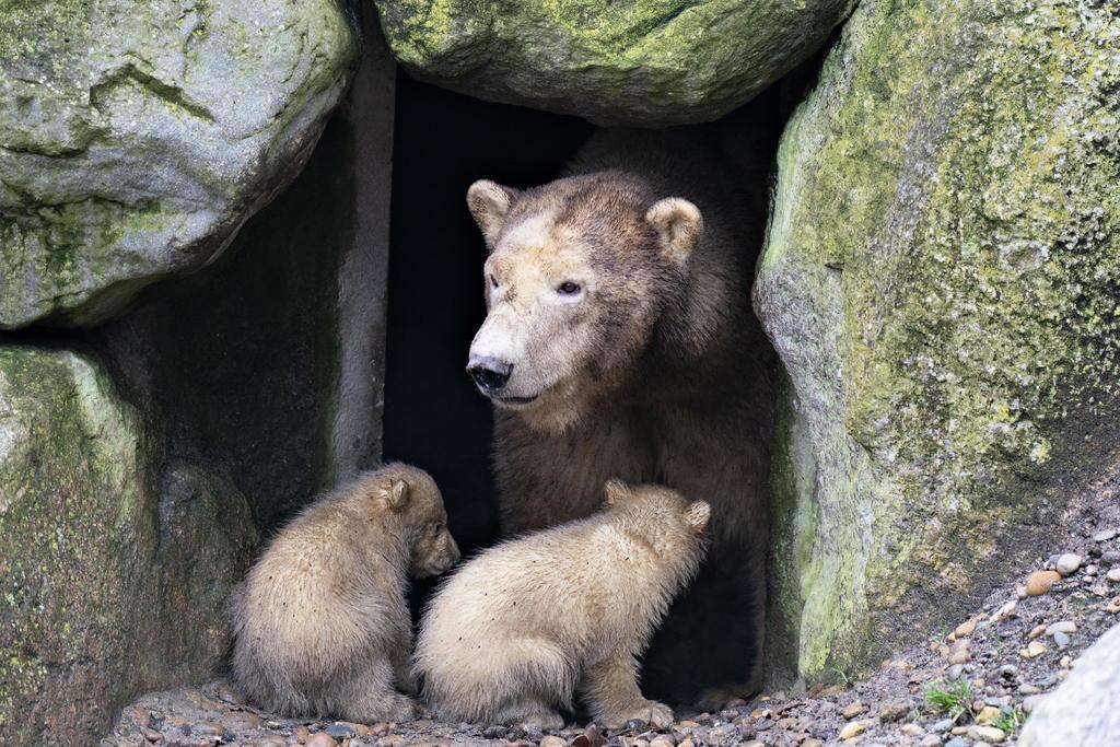 La dieta de los osos de las cavernas y cómo esta pudo afectar a su desaparición ha sido motivo de controversia entre la comunidad científica. (ARCHIVO)