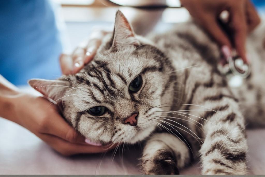 Especialistas recomiendan tomar medidas de prevención para los felinos, ya que según estudios estos pueden resultar propensos al contagio (ESPECIAL)
